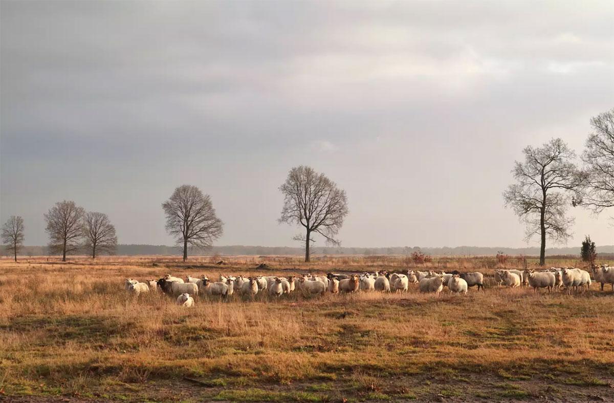 Schaapscheerdag in Heerenveen