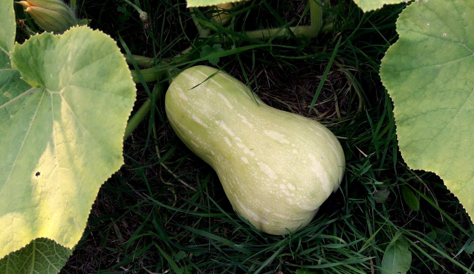 In de moestuin: wat je nog niet wist over de (fles)pompoen