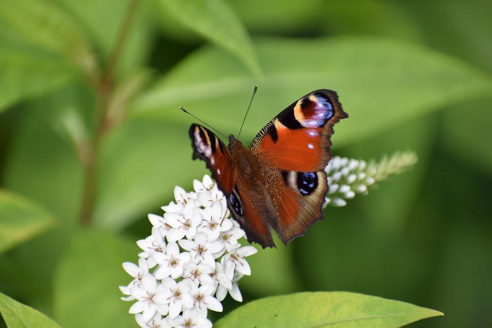 Maak van je tuin een paradijs voor vlinders en bijen