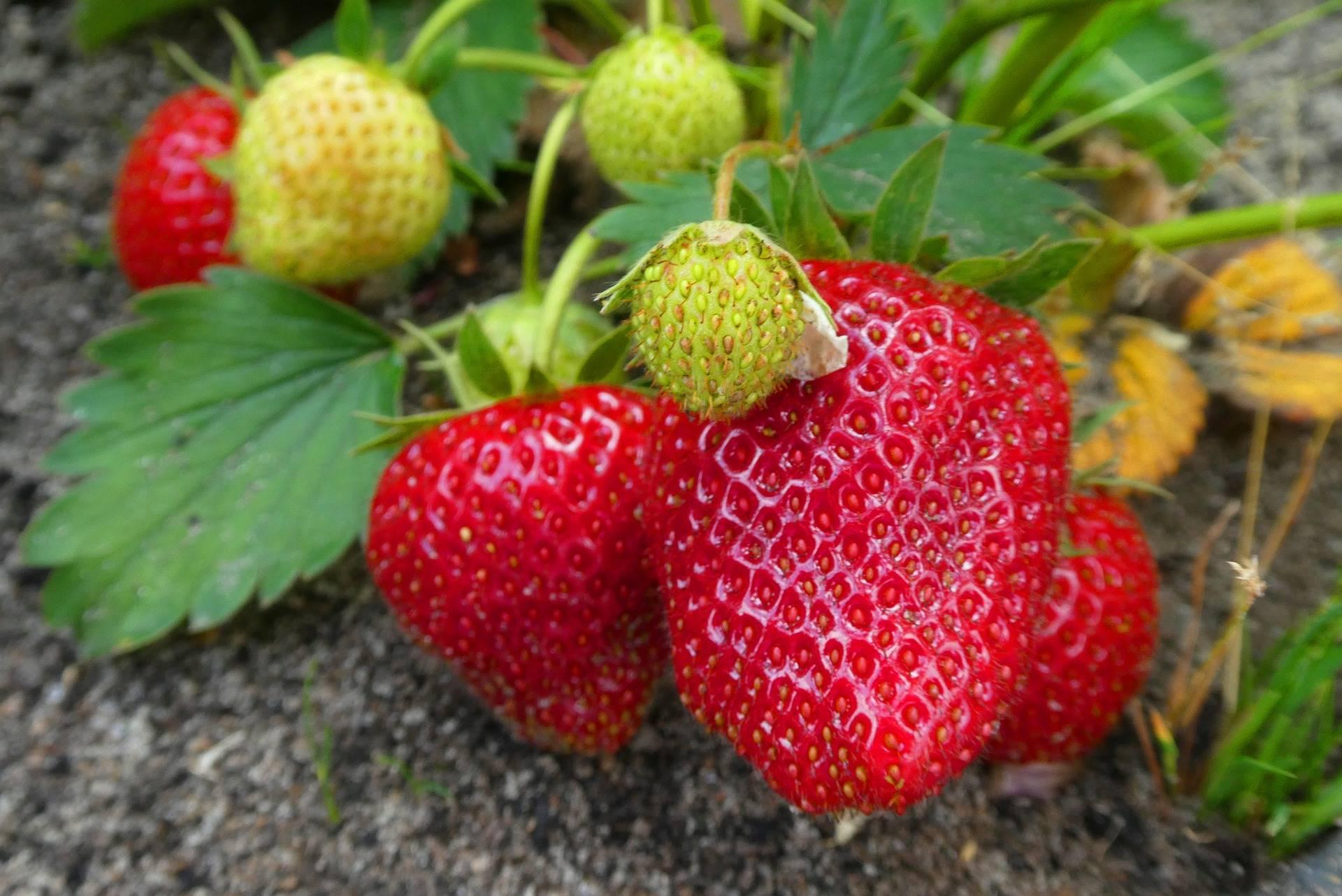 Versgeplukte aardbeien uit eigen tuin, heerlijk!