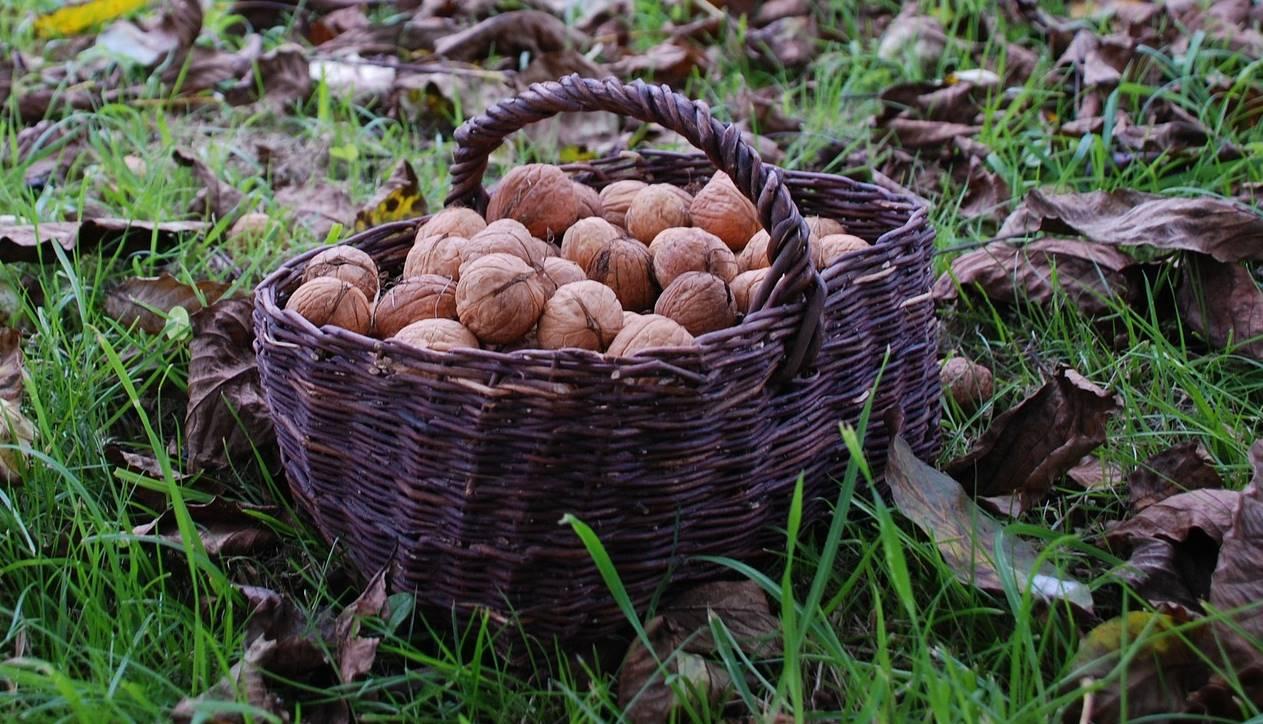 In de moestuin: walnoten rapen