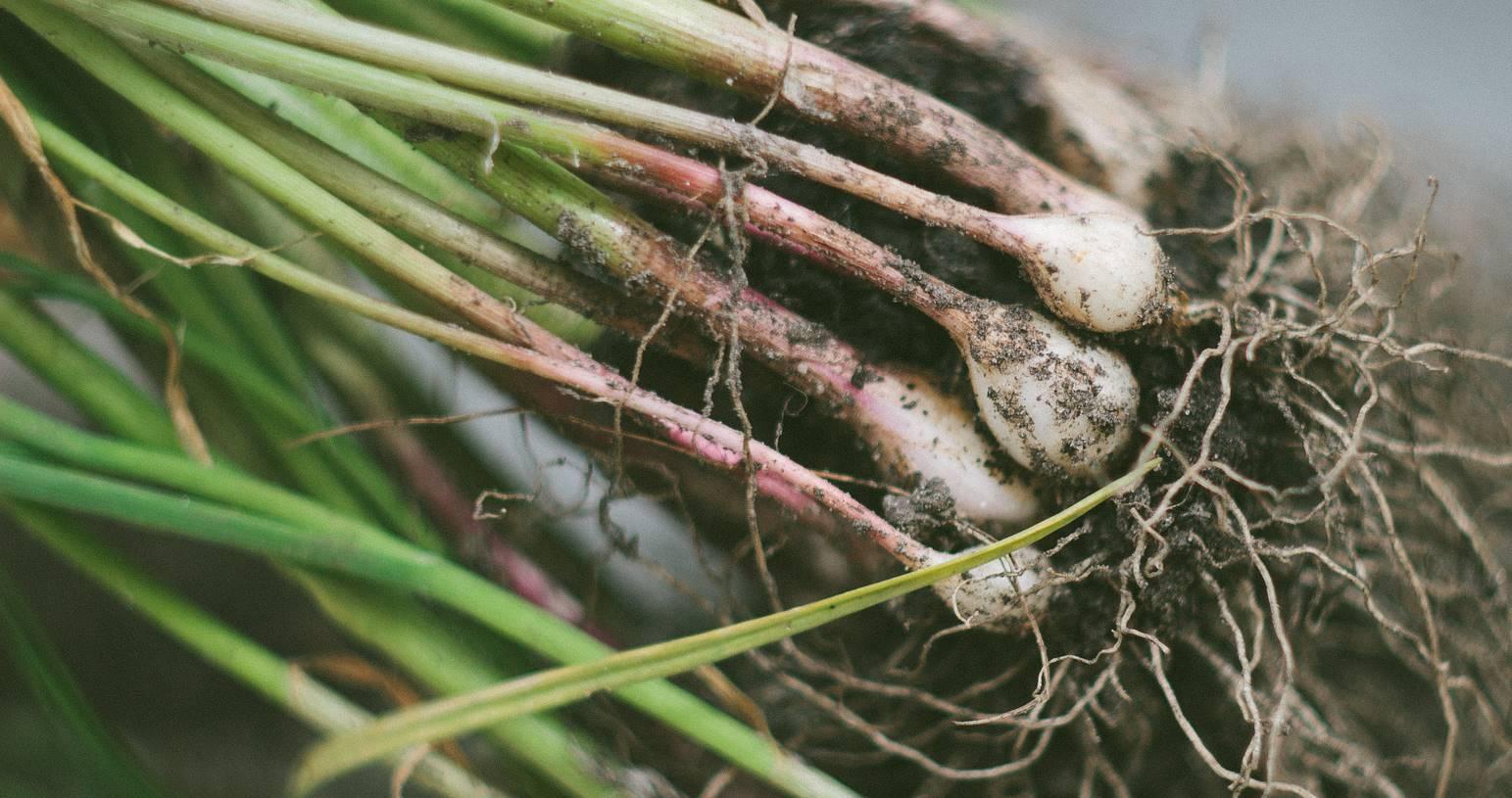 In de moestuin: knoflook planten